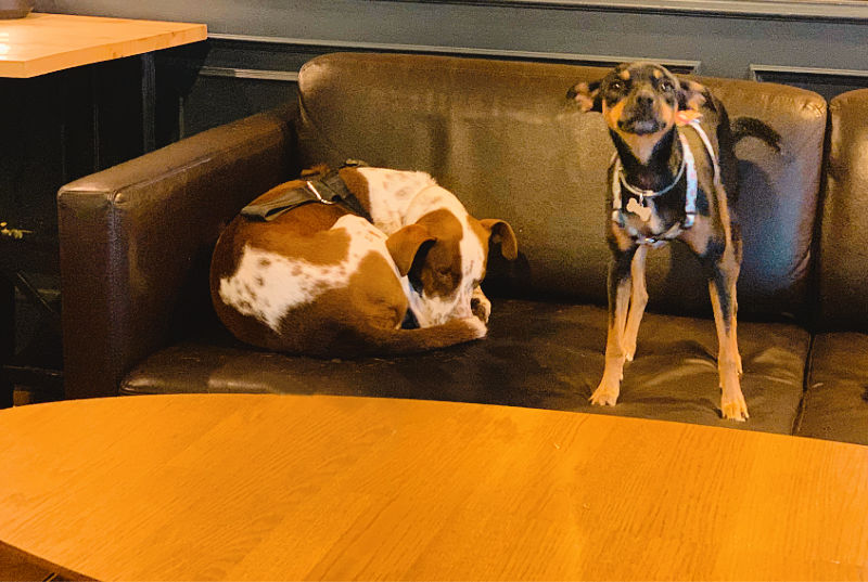 Perros comodones en el sofá de un pub, turismo dog friendly